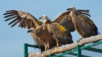 Vultures Return in Bulgaria is nominated for Best LIFE NATURE project for 2015