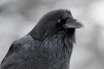 Ravens' fear of unseen snoopers hints they have theory of mind