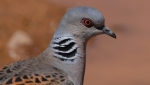 Four of the UK's bird species, including the puffin and turtle dove, have today been added to the list of birds considered to be facing the risk of global extinction.