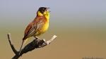 Бъди откривател, включи се в изготвянето на Атласа на гнездящите птици в Европа