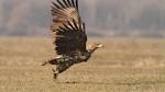 Ново гнездо на морски орел край Тунджа