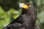 Predator: Verreaux's Eagles in South Africa Living Best in Agricultural Area