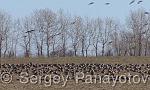 Белочела гъска/Anser albifrons - Оператор: Sergey Panayotov