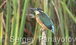 Common Kingfisher/Alcedo atthis - Cameraman: Sergey Panayotov