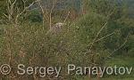 Grey Heron/Ardea cinerea - Cameraman: Sergey Panayotov