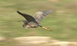 Purple Heron/Ardea purpurea - Cameraman: Sergey Panayotov