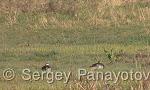 Garganey/Anas querquedula - Cameraman: Sergey Panayotov