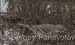 Water Pipit/Anthus spinoletta - Cameraman: Sergey Panayotov