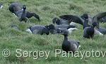 Brent Goose/Branta bernicla - Cameraman: Sergey Panayotov