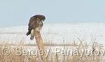 Common Buzzard/Buteo buteo - Cameraman: Sergey Panayotov