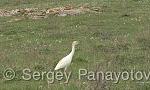 Cattle Egret/Bubulcus ibis - Cameraman: Sergey Panayotov