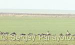 Red-breasted Goose/Branta ruficollis - Cameraman: Sergey Panayotov