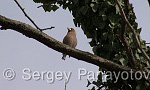 Hawfinch/Coccothraustes coccothraustes - Cameraman: Sergey Panayotov