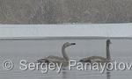 Whooper Swan/Cygnus cygnus - Cameraman: Sergey Panayotov