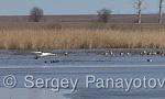 Mute Swan/Cygnus olor - Cameraman: Sergey Panayotov