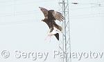 Western Marsh-harrier/Circus aeruginosus - Cameraman: Sergey Panayotov