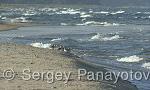Sanderling/Calidris alba - Cameraman: Sergey Panayotov