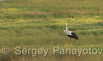 White Stork/Ciconia ciconia - Cameraman: Sergey Panayotov