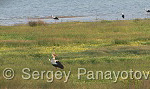 Бял щъркел/Ciconia ciconia - Оператор: Sergey Panayotov