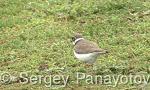 Little Ringed Plover/Charadrius dubius - Cameraman: Sergey Panayotov