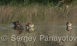 Curlew Sandpiper/Calidris ferruginea - Cameraman: Sergey Panayotov