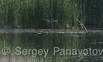 Whiskered Tern/Chlidonias hybridus - Cameraman: Sergey Panayotov