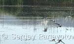 White-winged Tern/Chlidonias leucopterus - Cameraman: Sergey Panayotov
