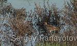 Little Stint/Calidris minuta - Cameraman: Sergey Panayotov