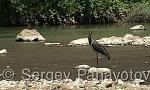 Black Stork/Ciconia nigra - Cameraman: Sergey Panayotov