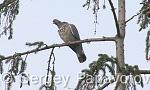 Common Wood-pigeon/Columba palumbus - Cameraman: Sergey Panayotov