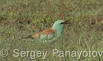 European Roller/Coracias garrulus - Cameraman: Sergey Panayotov