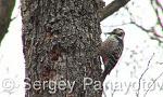 White-backed Woodpecker/Dendrocopos leucotos - Cameraman: Sergey Panayotov