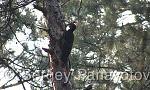 Черен кълвач/Dryocopus martius - Оператор: Sergey Panayotov
