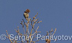 Lesser Spotted Woodpecker/Dendrocopos minor - Cameraman: Sergey Panayotov