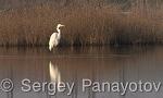Great Egret/Ardea alba - Cameraman: Sergey Panayotov