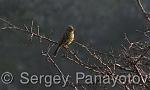 Yellowhammer/Emberiza citrinella - Cameraman: Sergey Panayotov
