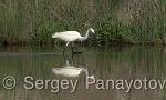 Малка бяла чапла/Egretta garzetta - Оператор: Sergey Panayotov