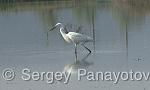 Little Egret/Egretta garzetta - Cameraman: Sergey Panayotov
