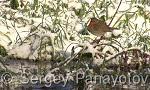 Червеногръдка/Erithacus rubecula - Оператор: Sergey Panayotov