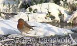 European Robin/Erithacus rubecula - Cameraman: Sergey Panayotov