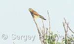 Common Kestrel/Falco tinnunculus - Cameraman: Sergey Panayotov