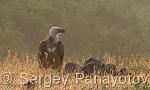 Eurasian Griffon/Gyps fulvus - Cameraman: Sergey Panayotov