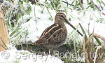 Common Snipe/Gallinago gallinago - Cameraman: Sergey Panayotov