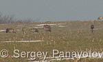 Common Crane/Grus grus - Cameraman: Sergey Panayotov