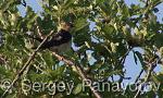 Red-rumped Swallow/Cecropis daurica - Cameraman: Sergey Panayotov