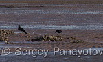 Eurasian Oystercatcher/Haematopus ostralegus - Cameraman: Sergey Panayotov
