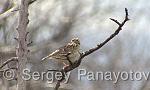 Wood Lark/Lullula arborea - Cameraman: Sergey Panayotov