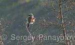 Red-backed Shrike/Lanius collurio - Cameraman: Sergey Panayotov