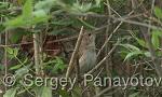 Common Nightingale/Luscinia megarhynchos - Cameraman: Sergey Panayotov