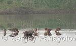 Black-tailed Godwit/Limosa limosa - Cameraman: Sergey Panayotov